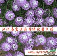 香雪球种子行情报价\香雪球种子图片展示