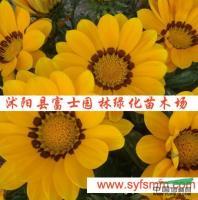 勋章菊种子行情报价\勋章菊种子图片展示