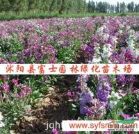 紫罗兰种子报价/江苏紫罗兰种子报价
