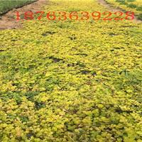 金叶过路黄   金叶过路黄基地    营养钵金叶过路黄