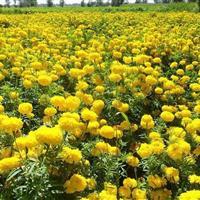 孔雀草直销,景观种子,花卉种子,孔雀草种植,特价