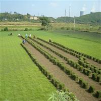 安徽祥和草坪基地常年直销百慕达/混播草/高羊茅/黑麦草