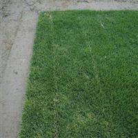 滁州祥和草坪耐寒抗湿的马里拉草坪/耐寒百慕大草坪/抗湿高羊茅