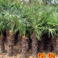 江苏棕榈树批发-棕榈树批发价格-棕榈树零售-棕榈树工程苗批发
