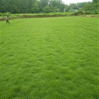 滁州精品马尼拉草坪上市了 草坪基地 草皮马尼拉