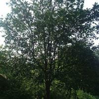 湖北柚子树丨荆州柚子树丨陈店合作社柚子树