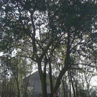 湖北柚子树丨移栽柚子树丨丛生柚子树