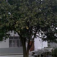 8公分柚子树