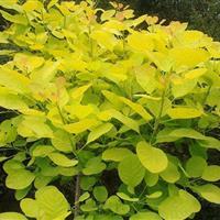 金叶黄栌 供应黄栌树苗 金叶黄栌嫁接苗 金叶黄栌一年苗报价