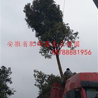 肥西高杆石楠树D15cm基地_肥西高杆石楠树产地_【好口碑】