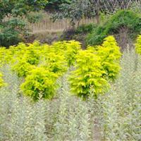 金叶水杉树苗价格,发展前景,如何繁育?