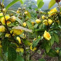 茶花树价格 H20-40公分防普金花茶基地
