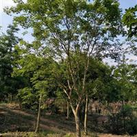 元宝枫各种树形5-30