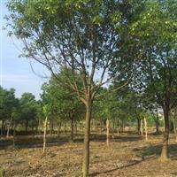 苗圃照片15一30公分 香樟15-30公分