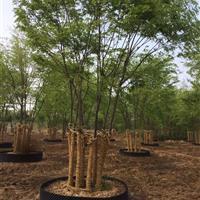叢生樸樹。榔榆  量大