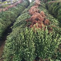 河南大叶黄杨冬青40-70cm公分高西安裕盛苗木市场供货