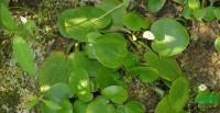 水鳖供应/水鳖图片