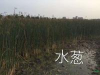 水葱报价/浙江水葱报价