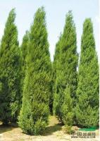 1m以上河南信阳优质桧柏常绿乔木城市小区道路绿化圆柏