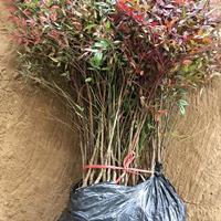 河南灌木兰天竹40-80cm优质南天竺城市道路小区绿化