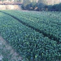 河南80-100cm公分大叶黄杨冬青苗西安裕盛苗木市场供货