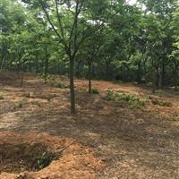 万亩基地8-24公分栾树