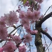 供应垂枝樱花,八重红枝垂