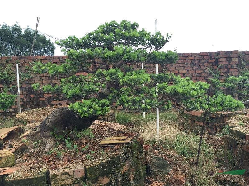 广西省北海地区造型罗汉松盆景极品罗汉松盆景