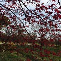 嵊州日本红枫景观设计/日本红枫庭院设计/日本红枫园林设计