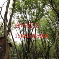 成都苗圃熟货茶条槭批发处理 茶条槭处理