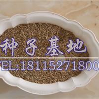 低价出售高羊茅种子