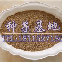 早熟禾种子多少钱一斤?