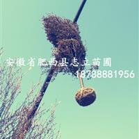 安徽合肥红叶李_合肥红叶李基地_红叶李介绍_合肥红叶李照片