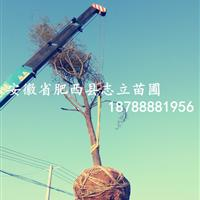 合肥移植秸秆朴树基地_合肥移植朴树介绍_朴树大型基地