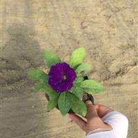 矮牵牛 蓝紫 自有基地各种时令草花出售