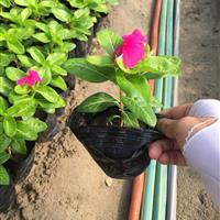 长春花 玫红 自有基地各种时令草花出售
