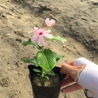 长春花 粉红 自有基地各种时令草花出售