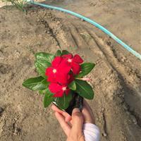 长春花 大红色 自有基地各种时令草花出售
