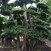 造型榕树桩景,福建造型榕树桩景