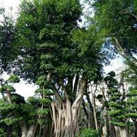 造型榕树桩景价格,榕树桩头
