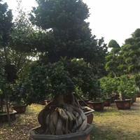 哪里有榕树桩,造型榕树价格