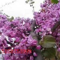 供应巨紫荆,丛生紫荆,独杆紫荆,价格低,品质优!欢迎选购