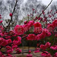 梅花树报价 梅花树多少钱梅花树什么价格
