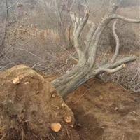大山楂树・大山楂树图片・大山楂树产地详情・供应大规格山楂树