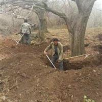 山楂树・山楂树种植产地・提供新品种山楂树・山楂树产地批发价格