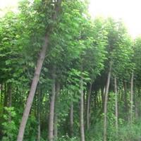 河南南阳供应金叶复叶槭4-7公分