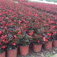 贵州地区供应:盆花 四季海棠、大花海棠、天竺葵