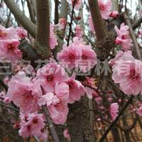梅花树红叶美人梅 梅花基地