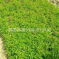 江苏供应大批量锦带床苗 ,各种规格工程用苗