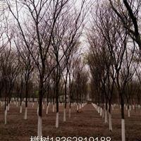 櫸樹基地,櫸樹供應 1——40公分櫸樹圖片,櫸樹價格櫸樹產地